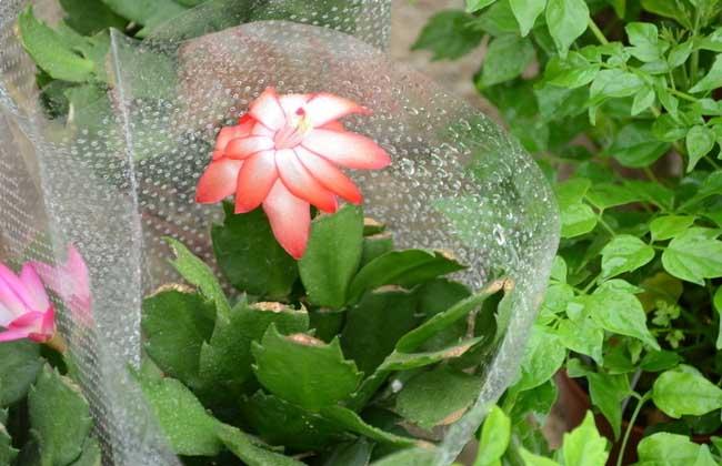 蟹爪兰是什么植物?