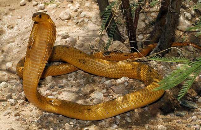 黄金眼镜蛇是什么蛇?