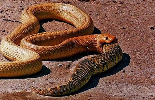 黄金眼镜蛇
