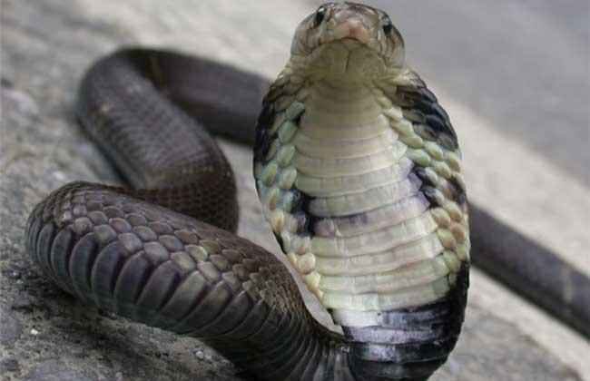 眼镜蛇价格多少钱?