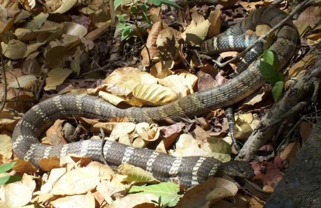 眼镜王蛇是什么蛇?