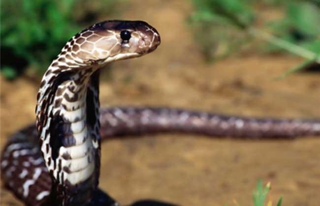 埃及眼镜蛇 埃及眼镜蛇是体型粗壮且毒性强烈的大型毒蛇,身长为1.5~2.4米,为爬虫纲有鳞目眼镜蛇科眼镜蛇属的生物,主要分布于北非及中东地带,活动于撒哈拉沙漠及叙利亚沙漠附近。最显著的特征是硕大的头部及颈部,以及宽阔的喙部。眼睛相比其它蛇类而言偏大,而且有着圆型的瞳孔。颈部的皮褶膨起时可以宽至15至18厘米。