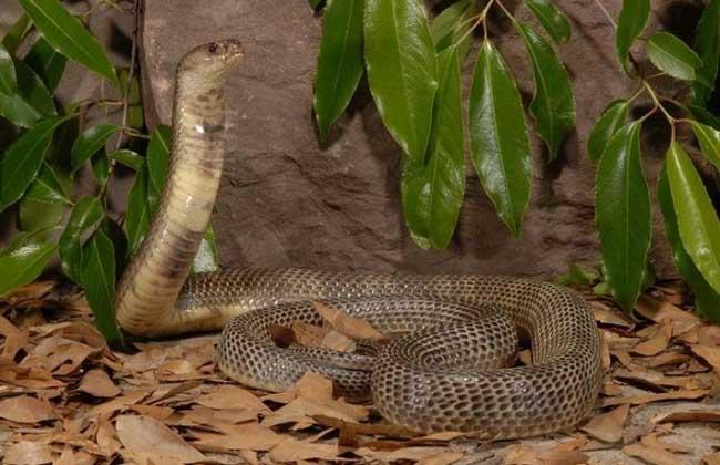 中华眼镜蛇是什么蛇?