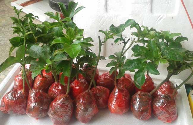 百香果种苗价格多少钱