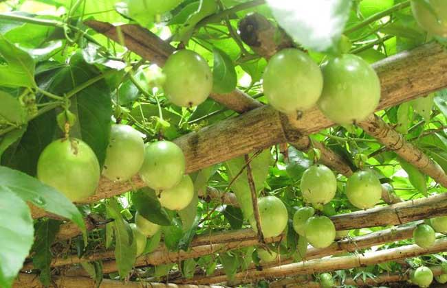 百香果品种图片