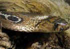 眼镜蛇种类图片大全