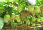 百香果品种图片大全