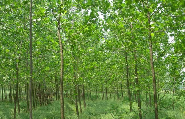 杨树的品种分类