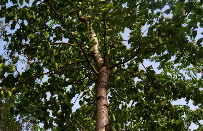 白杨树的种植技术