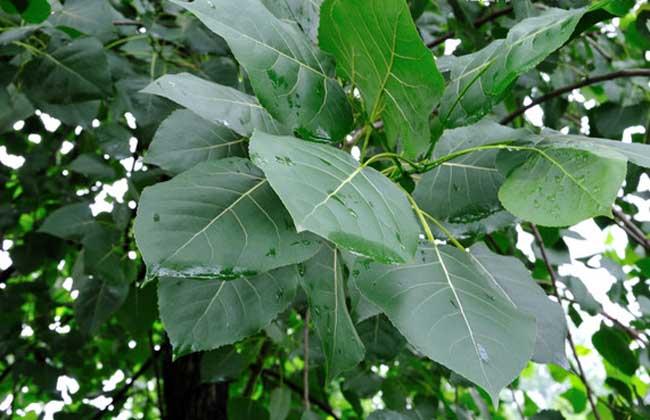 白杨树有哪些特点?