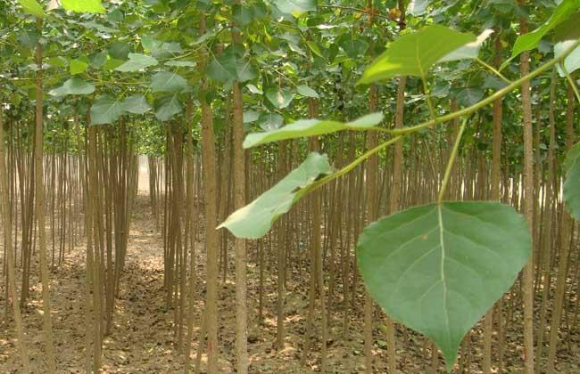 白杨树种植技术