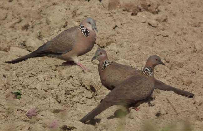 斑鸠是保护动物吗?