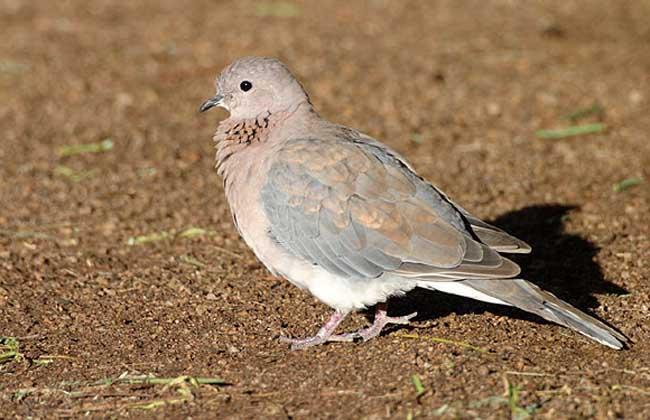 棕斑鸠是什么鸟类?