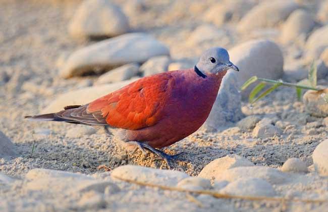 火斑鸠是什么鸟?