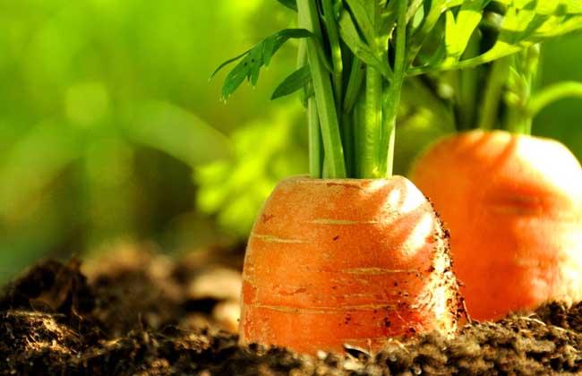 胡萝卜品种图片大全