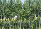 杨树和柳树的区别