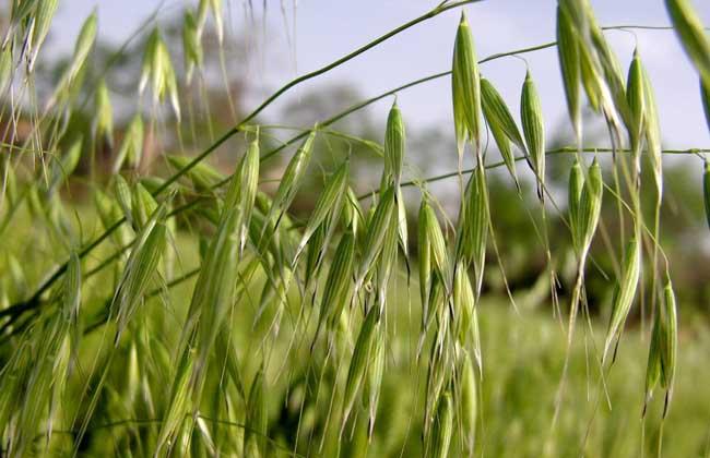 燕麦栽培技术