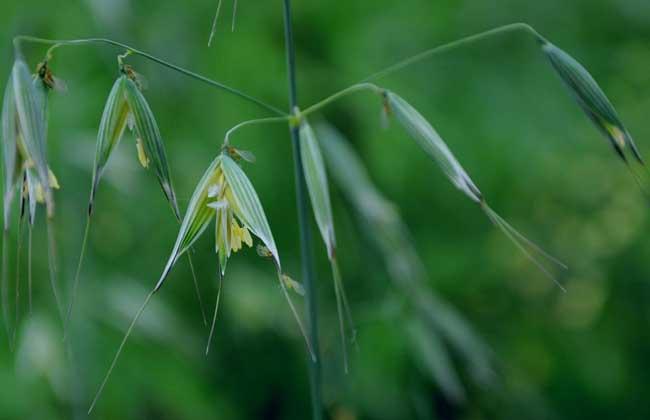 燕麦的种植时间