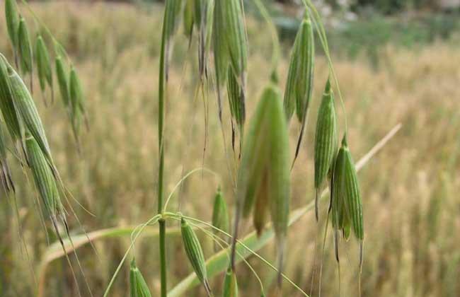 燕麦种植时间