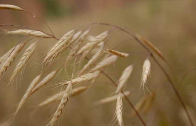 燕麦种类图片大全