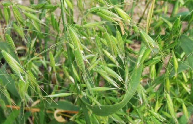 野燕麦是什么植物?