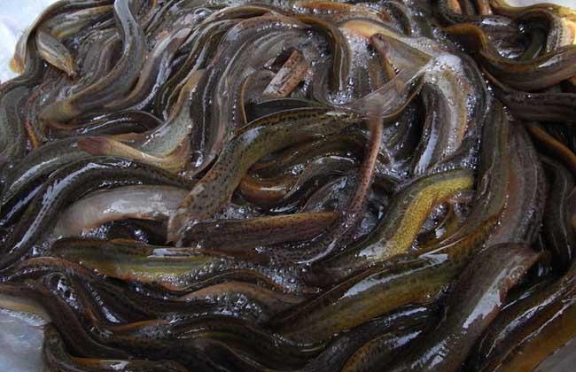 泥鳅吃什么食物?