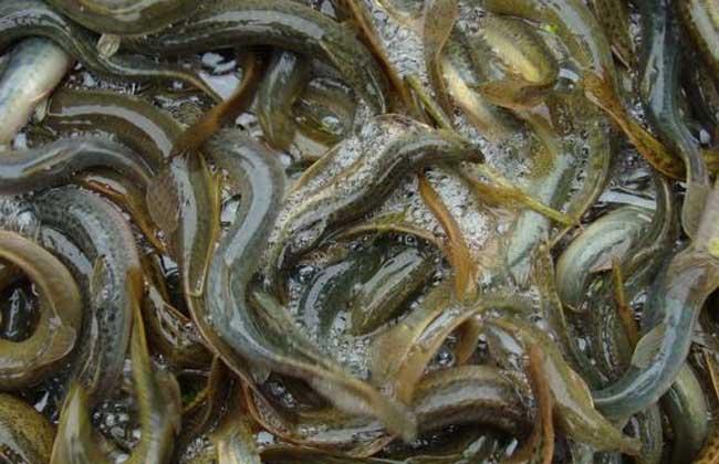 大鳞副泥鳅养殖技术