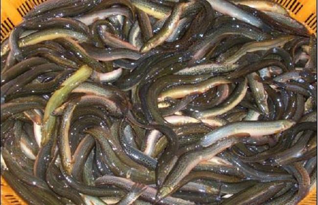 大棚养殖泥鳅技术
