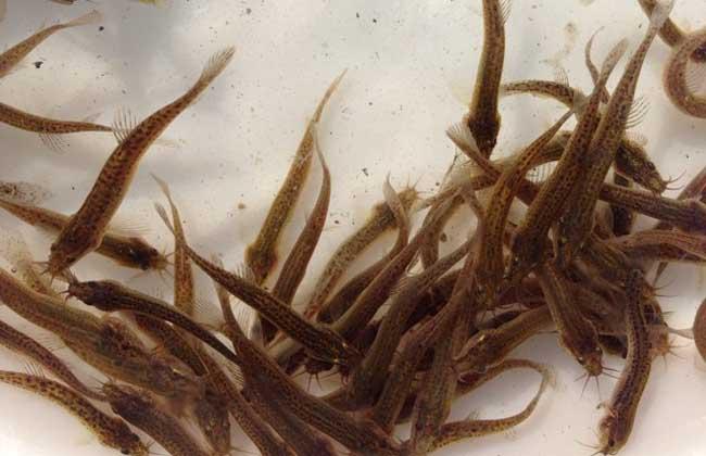 泥鳅自然繁殖技术