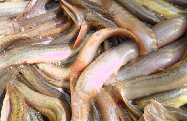 泥鳅饲料配方