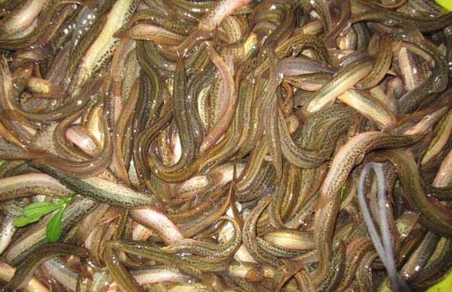 无土泥鳅养殖技术