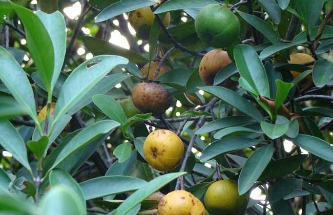 山竹繁殖方法