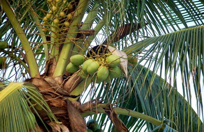 椰子的产地在哪里?