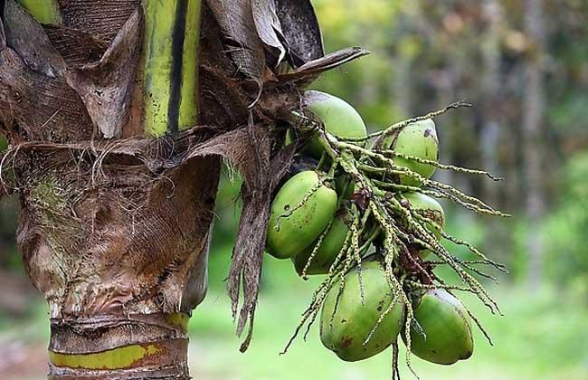 椰子树长什么样子?