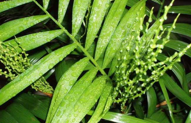 袖珍椰子养殖方法