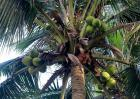 椰子树种植技术