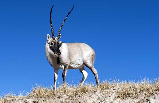藏羚羊是什么动物?
