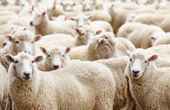 羊群效应是什么意思?