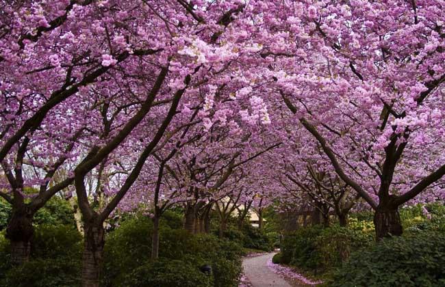 樱花的传说