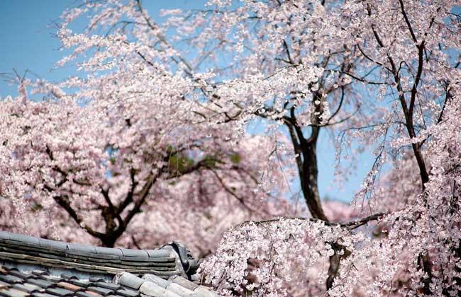 樱花的品种