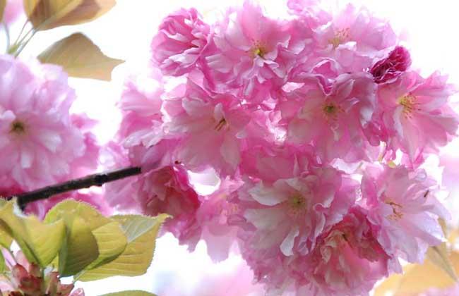樱花什么时候开?