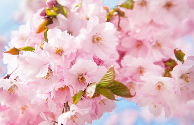 樱花什么时候开