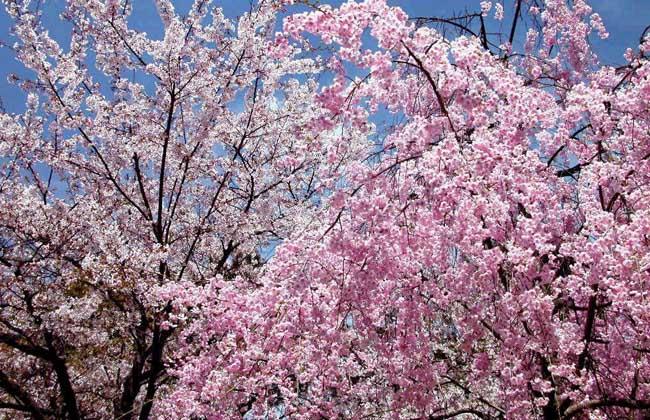 樱花树种植技术