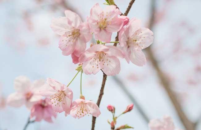 樱花树和樱桃树的区别