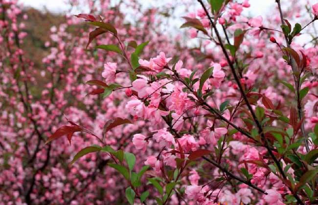 樱花树苗价格多少钱?