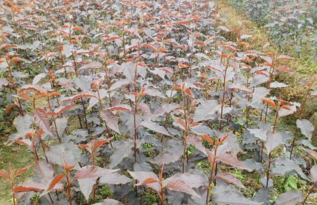 樱花树苗价格多少钱
