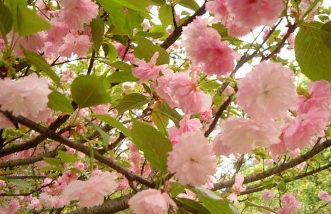 樱花树栽培几年开花