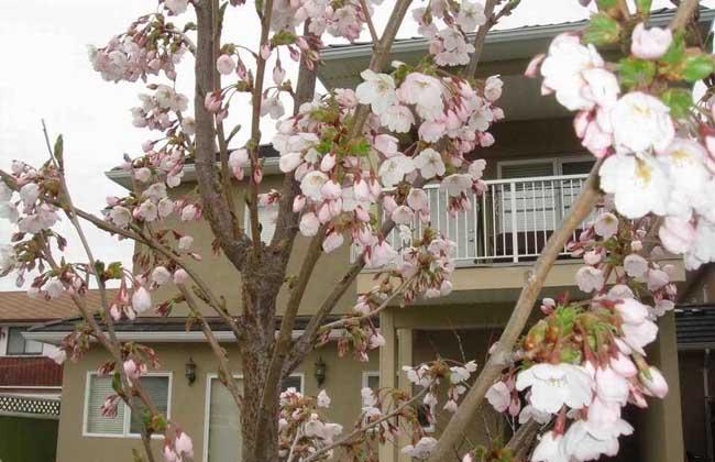 樱花树有什么作用