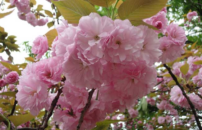 樱花树掉叶子怎么办