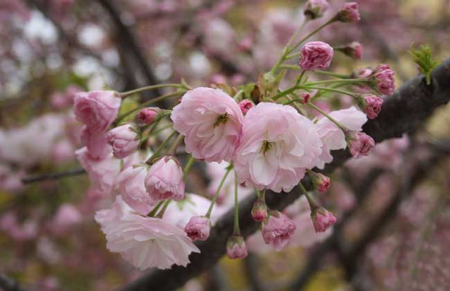 樱花种类图片